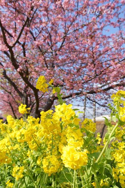 河津桜咲く三浦海岸-300