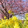 写真: 河津桜咲く三浦海岸-300