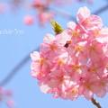 写真: 河津桜咲く三浦海岸-302
