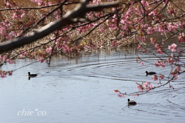 河津桜咲く三浦海岸-326