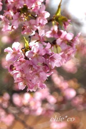 河津桜咲く三浦海岸-332