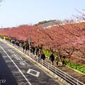 写真: 河津桜咲く三浦海岸-348