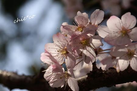 桜 ~春めき~