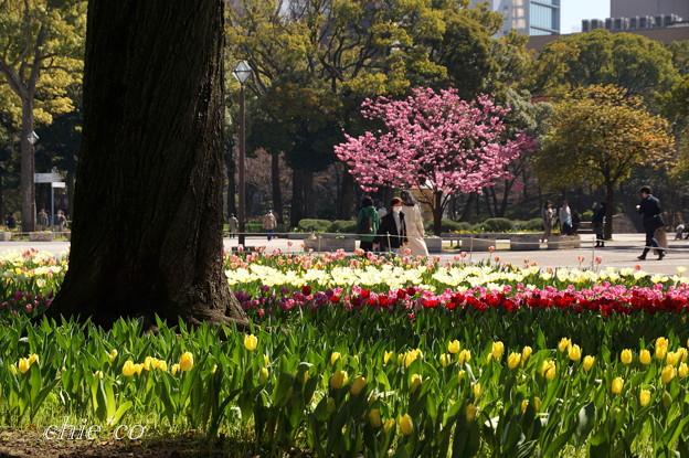 チューリップと横浜緋桜の咲く風景・・