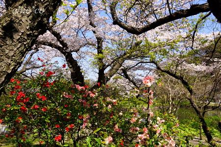 三渓園~桜咲くころ~-250