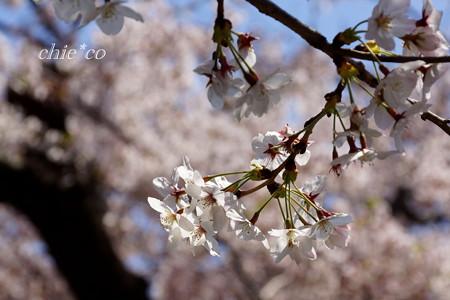 三渓園~桜咲くころ~-262