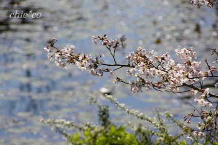 三渓園~桜咲くころ~-266
