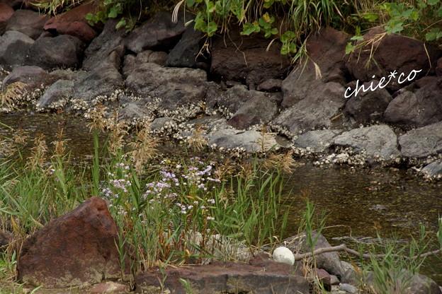 浦菊(うらぎく)浜紫苑(はましおん)の咲く水辺・・
