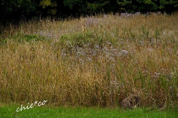 浜紫苑(はましおん)の咲く湿地・・