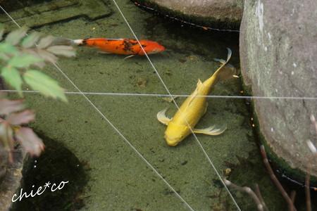黄金色の鯉・・