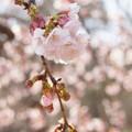 写真: 大寒桜。。1