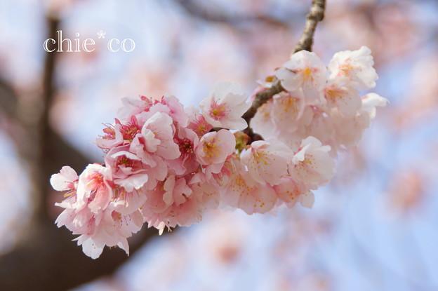 写真: 大寒桜。。3