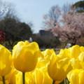 写真: チューリップと玉縄桜。。