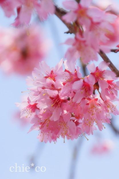 写真: おかめ桜。。