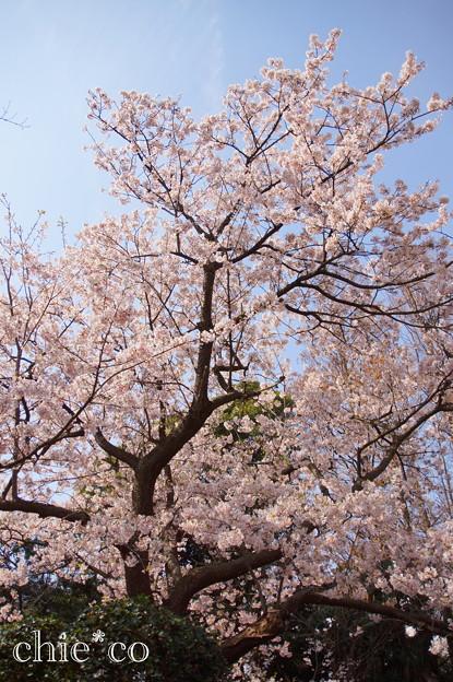 玉縄桜(原木)。。