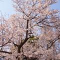 写真: 玉縄桜(原木)。。