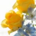 写真: 黄色の薔薇と。。