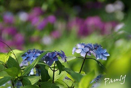 紫陽花blueと・・花菖蒲purple・・