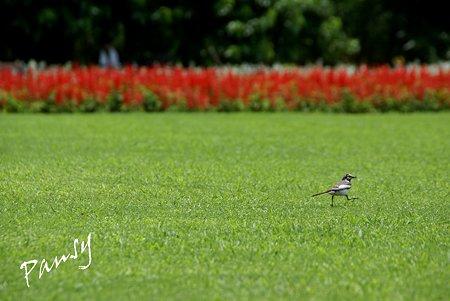 サルビアと・・小鳥のいる風景