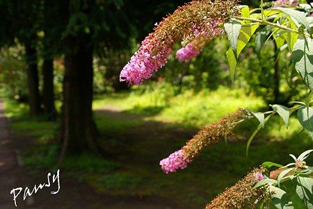 ブッドレアの咲く道・・