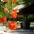 凌霄花の咲く寺院・・1