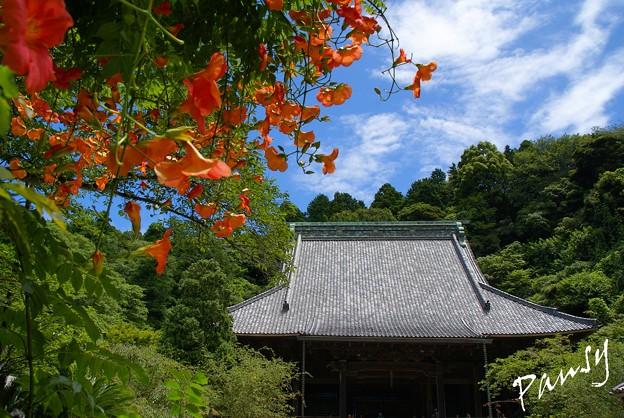 写真: 凌霄花の咲く寺院・・2