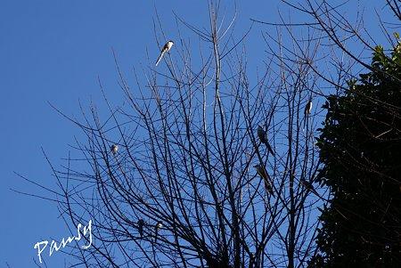 青空と・・尾長の集まる樹・・