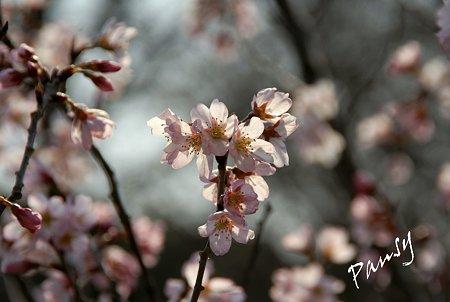 敬翁桜・・7