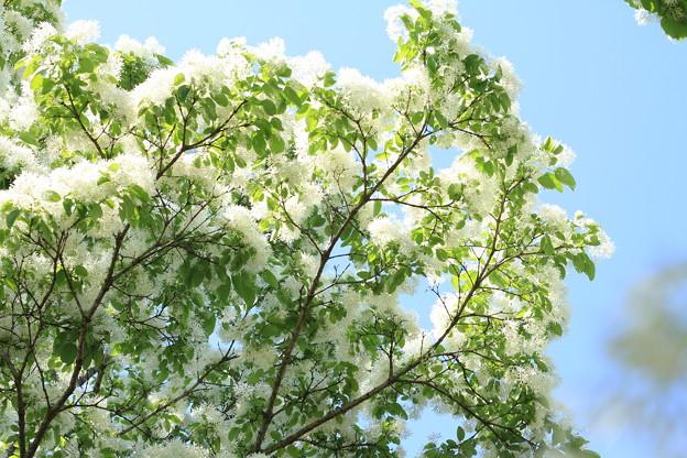 雪のような花