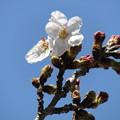 ソメイヨシノ咲いてました