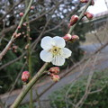 Photos: 一輪の梅