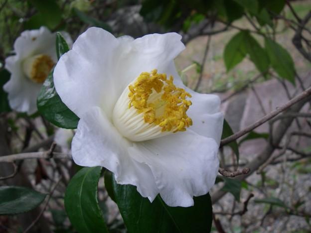 シンプルな白椿