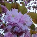 八重の桜が