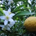 甘夏の花と