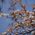 Photos: 名残の桜