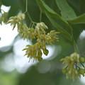 自生唯一の木の花
