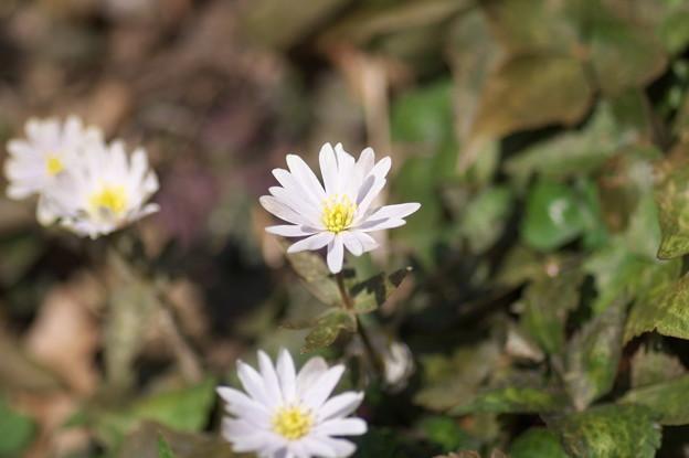春の妖精(1)