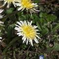 写真: 蒲公英の季節