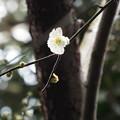 Photos: 緑萼