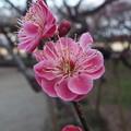 Photos: 品字梅