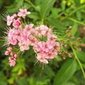 ゲンペイシモツケ赤花1607140037