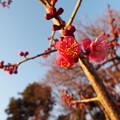 Photos: 紅千鳥D3-1401@子規句碑1701210063