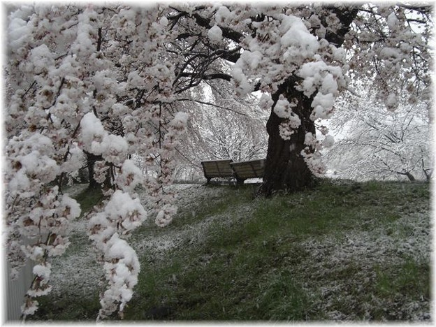 満開の雪と桜