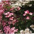 Photos: U邸の庭で6