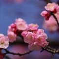 Photos: あんずも咲きだしました!
