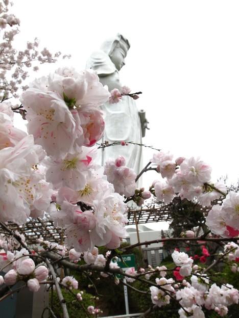 Photos: 観音様のお花見(3)