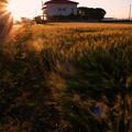 小麦の舞い