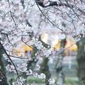 Photos: 夕桜
