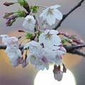 月見桜~(^^♪