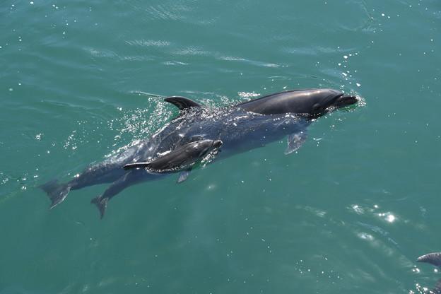 37母子イルカ